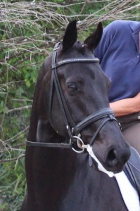 Black 4th level dressage gelding