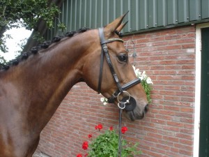 16 hh sweet dressage mare